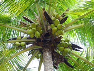coconut-palm-172530_640