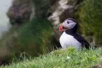 atlantic-puffin-3572284_640