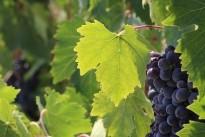 grapes-3812013_640