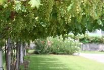 grapes-819623_640
