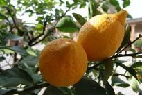 lemons-1339263_640