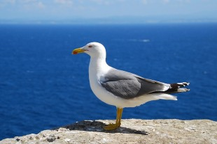 seagull-1410029_640