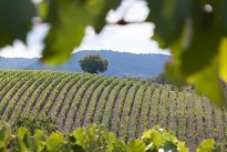 vineyard-989270_640