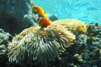 maldive-anemonefish-585779_640