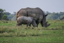 rhino-2675891_960_720