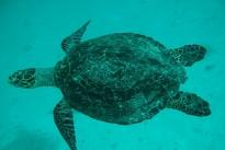 sea-turtle-430360_640