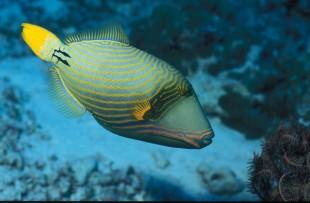 triggerfish-2960212_640