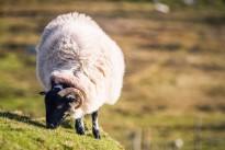 Slieve League Sheep