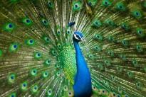 peacock-2363750_640