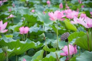 lotus-2537287_960_720