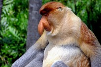 proboscis-monkey-2422095_640